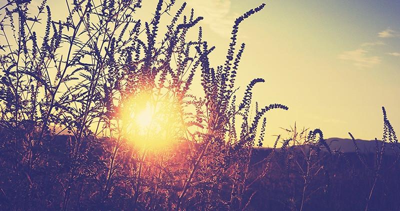 Nekada hrana bogova, a danas?: Alergija na ambroziju